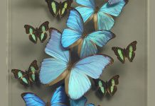 blue morpho butterfly art_credit Ken Denton Jr.