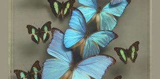 blue morpho butterfly art_credit Ken Denton Jr.