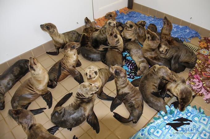 Sea lions UME Nursery_by PMMC